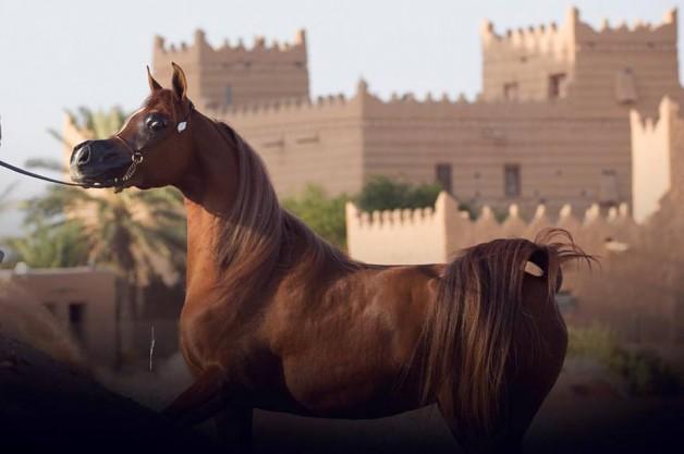 ما يستحب وما لا يستحب في أعضاء الخيل العربية في كتب الأدب والتاريخ