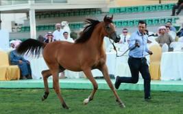 مزاد أبوظبي ٢٠١٧ للخيول العربية يحقق 1.3 مليون درهم و«الأريام نعمه» الأعلى سعراً