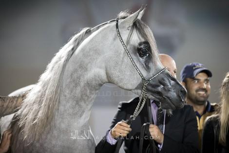 «دبي» و«عجمان» و«البداير» و«الهواجر» أبطال (أبوظبي الدولية لجمال الخيول العربية 2017) – النتائج النهائية