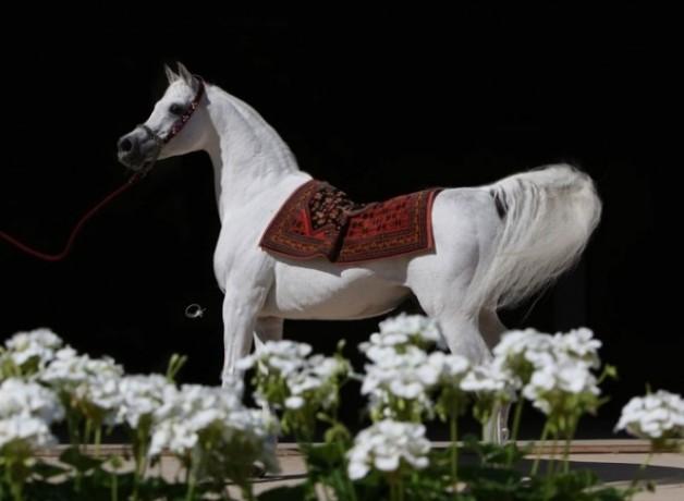 المرزوق: «أنساتا حجازي» أحدث تأثيراً في مسيرة الخيل العربية