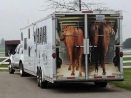 كيف تتأذى الخيول أثناء نقلها؟