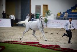 294 خيلاً تتنافس على القاب «الشارقة الدولية» للجواد العربي ابتداء من اليوم