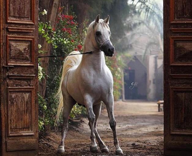نادي سباقات الخيل العربية يؤكد أهمية الحفاظ على السلالات والاعتناء بها