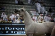 مقتطفات من اليوم الأول من بطولة قطر الدولية الـ ٢٦ لجمال الخيل العربية الأصيلة