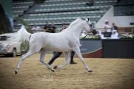 «تهامة بلالينا» تحرز أعلى درجة في البطولة في ثاني أيام «قطر الدولية» الـ26 لجمال الخيل العربية – نتائج الفئات