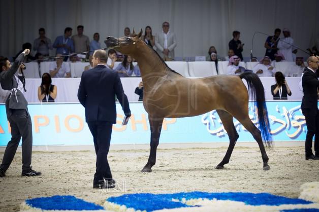 أرقى سلالات الخيول العربية تشارك في بطولة دبي للجواد العربي ٢٠١٧
