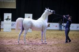 مزاد دبي للخيول العربية يحقق (٨ ملايين درهم) و«جواندا» تتصدر الأعلى مبيعاً