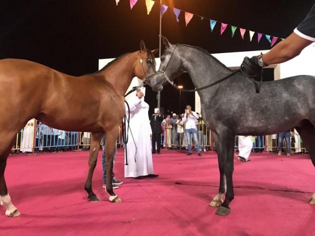 عروض جمال الخيل العربية الأصيلة في مهرجان ربيع مكة