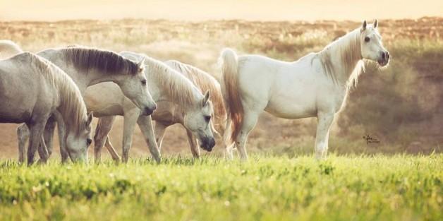 إيواء الخيول الجماعي أو الفردي: أيهما يسبب توترا أقل؟