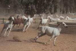 مصر تتجاوز مرحلة حظر تصدير الخيول .. و«الزهراء» أقدم محطة لتربية و بيع أصايل الخيل