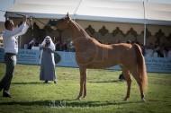 صور مقتطفة من اليوم الثاني لبطولة مركز الملك عبدالعزيز للخيل العربية الأصيلة ٢٠١٧
