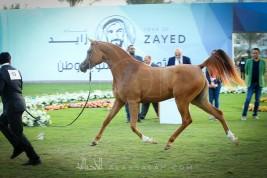 مزاد مربط عجمان ٢٠١٨ للخيل العربية الأصيلة يحقق نجاحاً باهراً بمبيعات تجاوزت الـ ٣ ملايين