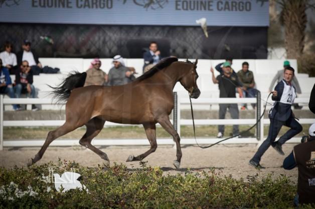 «بيت العرب» الكويتي و «الزراعة المصرية» يجريان مباحثات لإعادة تصدير الخيول من مصر للكويت
