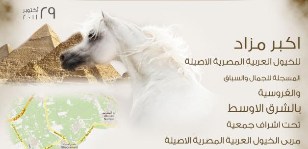 أكبر مزاد للخيول العربية المصرية الأصيلة