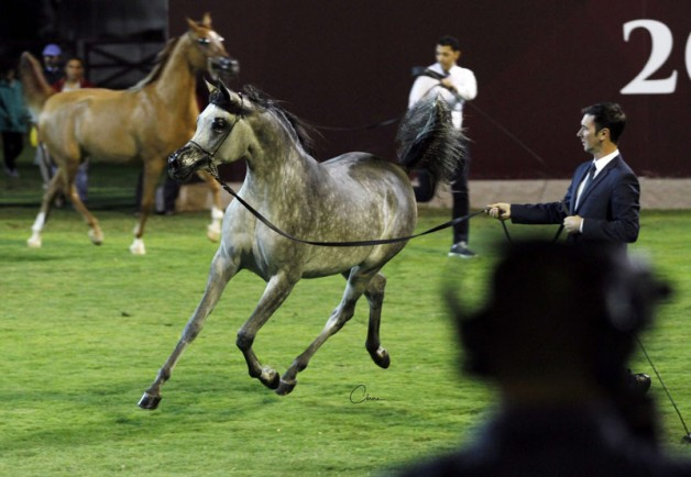 (نويدرة وعاجلةالزبير) تتزعمان مجموعتيهما في انطلاقة بطولة أبوظبي الدولية لجمال الخيول العربية 2018