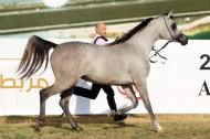 خيول «البداير» و «الزبير» تواصل تألقها .. و «عجمان» يحقق نتائج متميزه ببطولة ابوظبي الدولية ٢٠١٨ للجواد العربي