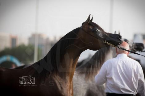 صور مقتطفة من اليوم الختامي لبطولة ابوظبي الدولية ٢٠١٨ لجمال الخيل العربية الأصيلة