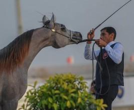 بطولة فيصل بن حمد بالبحرين لجمال الخيل العربية للمربين تنطلق غداً