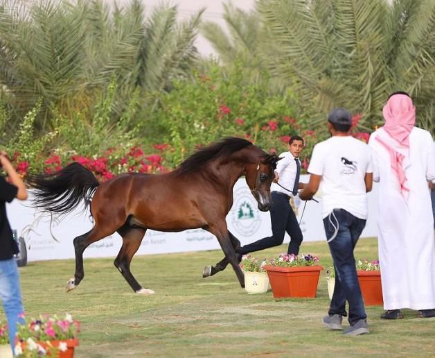 الشتوي: رعاية بطولة القصيم للخيل العربية حباً للخيل وملاكها واحتذاء بما تقدمه القيادة الرشيدة