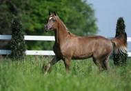 «عجمان» يحقق ثنائية ذهبية ببطولة توليب ٢٠١٨ لجمال الخيول العربية مع بداية الموسم الأوربي
