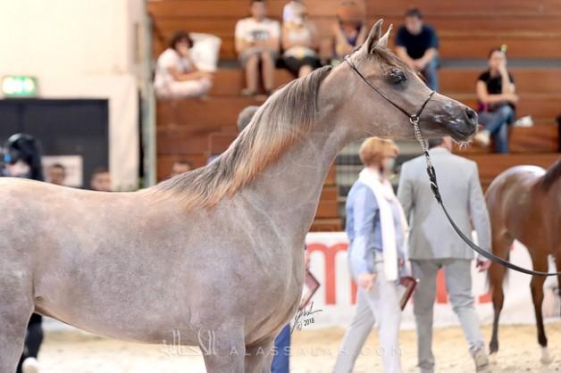 خيول «عجمان» تخطف الاضواء في بطولة ويلس الدولية ٢٠١٨