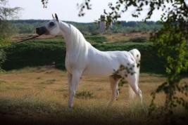 مربط عجمان … موطن أفضل الخيول العربية في العالم