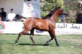 عروض مثيرة في بطولة لبنان لجمال الخيول العربية