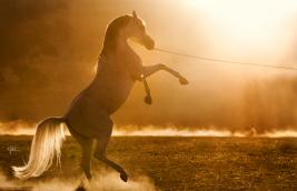 موجات الحرارة وغبار الطلع قد يعملا على تفاقم أعراض الربو لدى الخيول