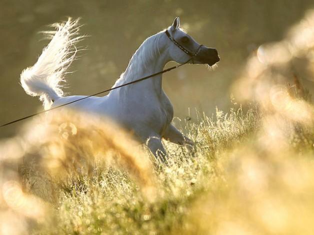 """عشاق الخيول العربية يفتقدون """"العديد الشقب"""" رمز الهوية العربية 1995-2018"""