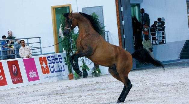 أنقى السلالات العربية تتنافس في مهرجان الجواد العربي بالشارقة