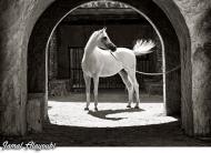الحداد: 150 ألف دينار جوائز مهرجان الجمال للخيول العربية