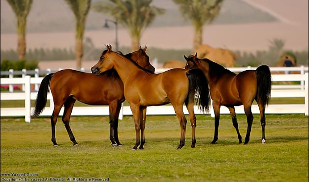 """""""الجواد العربي"""" تنظم دورة تثقيفية بعنوان تقييم الخيول العربية"""