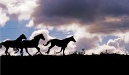 الدواعش يسرقون خيول عربية أصيلة بتكريت ويبيعونها لأجانب