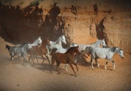 """بعد رفع قيمة جوائز سباقات خيول """"الثوروبريد"""" ملاك الخيول العربية الأصيلة يتطلعون الى الدعم"""