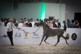 صور مقتطفة من اليوم الأول لبطولة الرياض 2019 لجمال الخيل العربية الأصيلة