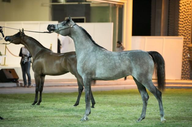 مربط دبي يحصد ذهبيتين وفضية في بطولة عجمان ٢٠١٩  لجمال الخيل العربي