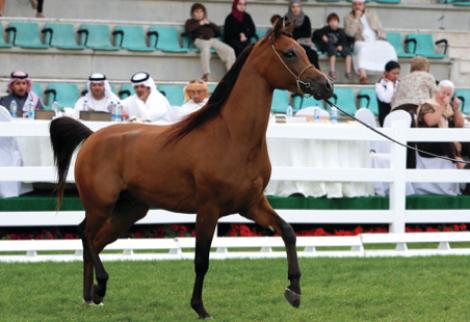 مربط عجمان يحصد 3 ألقاب في افتتاح البطولة الوطنية لجمال الخيول بأبوظبي