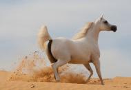 مربط عجمان يواصل تألقه في بطولة الإمارات لجمال الخيول