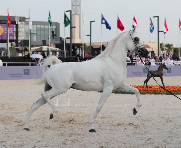صور مقتطفة من اليوم الختامي لبطولة كأس الخليج للخيل المصرية 2019