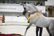 Sharjah International Arabian Horse Festival 2019 FINAL RESULTS with Photos