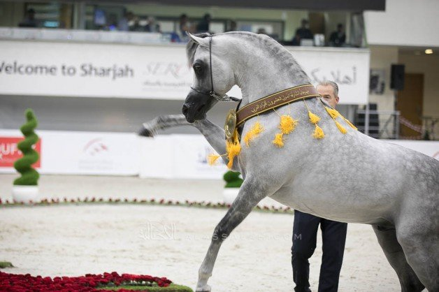 Sharjah International Arabian Horse Festival 2019 FINAL RESULTS with Photos