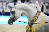 Final results with photos of the Dubai International Arabian Horse Championship 2019