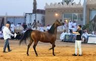 «التنهاة» يحقق مجموع 1.7 مليون ريال في مزاده الـ 77 للخيل العربية الأصيلة