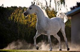 مزاد الخيول العربية في الشهامة السبت المقبل