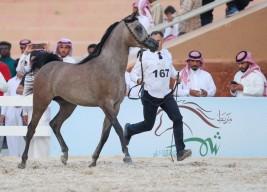 النتائج النهائية لبطولة حائل لجمال الخيل العربية 2019
