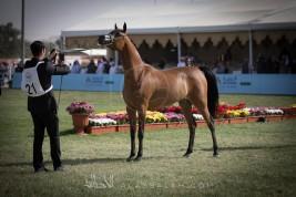 الاثنين تستقبل الخيول المشاركة في بطولة مركز الملك عبدالعزيز الدولية الرابعة