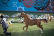 نخبة من الخيول العربية تعرض بمزاد عجمان للخيول العربية 2020 يوم غد الجمعة