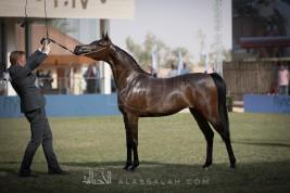 اكثر من 486 جواداً تتنافس على ألقاب مهرجان الامير سلطان العالمي للجواد العربي (السرعة) و (الجمال)