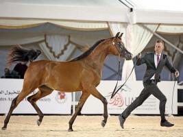 منافسات مثيرة في إنطلاقة بطولة الإمارات الوطنية للخيول العربية 2020