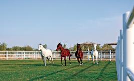 وصول خيول عربية أصيلة إلى صير بني ياس